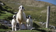 Alpine Sheep Family: Mother and Little Lambs video