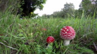 Amanita muscaria growing in field, time lapse video