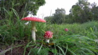 Amanita muscaria growing in the grass, time lapse video