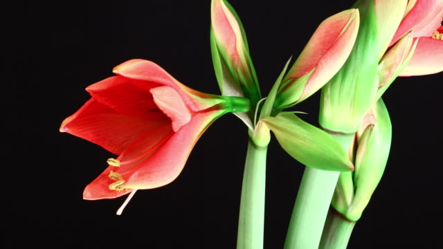 Amaryllis ferrari blooming flowers 4K video