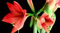 Amaryllis ferrari Blooming video