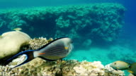 Amazing diving among exotic fish and corals. Swim next to an amazing fish surgeon. Recreation and diving in the tropical sea video
