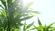 CLOSE UP, DOF: Amazing hemp plants flowering and swaying in summer breeze video