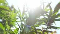 CLOSE UP, DOF: Amazing hemp plants flowering and swaying in summer wind video