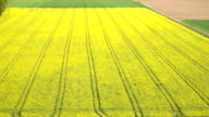 AERIAL: Amazing lush yellow oilseed rape rows in bio agricultural farm field video