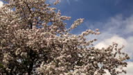 Amazing pink blossom crown of an apple tree, losing its petals on spring wind, on blue sky background. video