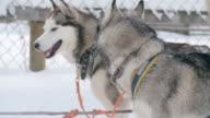 Amazing Siberian huskies ready for dogsledding video