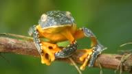 Amazon leaf frog (Cruziohyla craspedopus) video