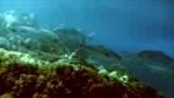 amber jacks, mediterranean sea video