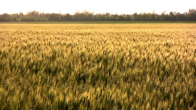 Amber Waves of Grain video