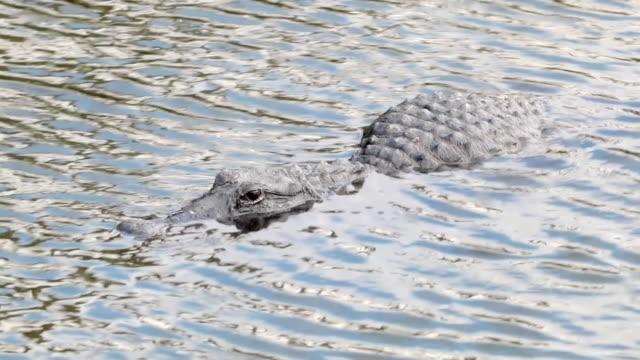 American Aligator swimming across in the Everglades video
