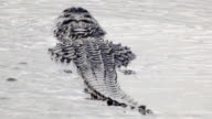 American Aligator swimming away in the Everglades video