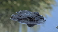 American alligator up close and personal in the water video