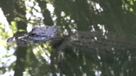 American alligator up close in the water video