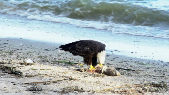 American Bald Eagle on the beach eating breakfast video