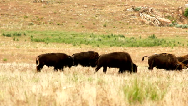 American bison feeding on the grass video