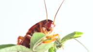 American cockroach video