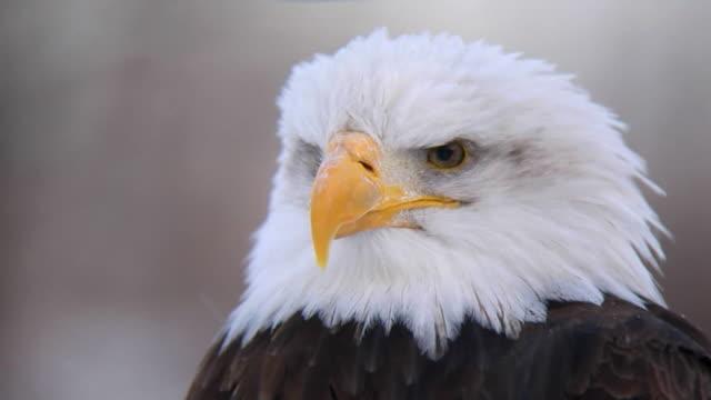 american eagle close-up video