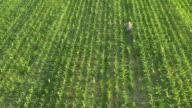 AERIAL American farmer walking among corn video