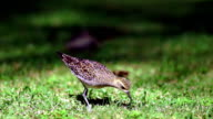 American Golden Plover Feeding Bird Finds Earthworm video