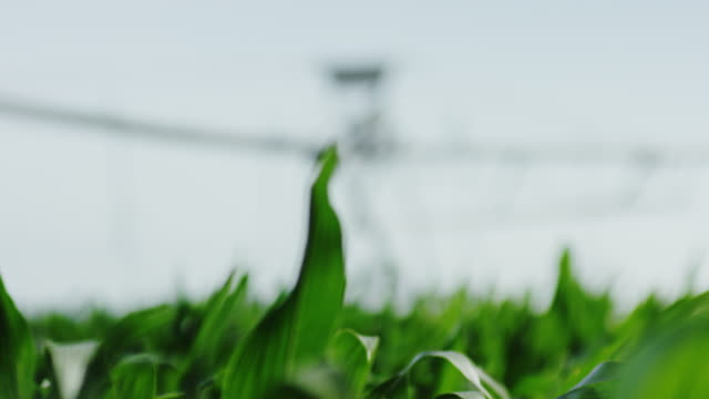American natural organic farm watering for high end produce, rack focus from close up corn to watering unit. video