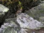 American or Pine Marten video