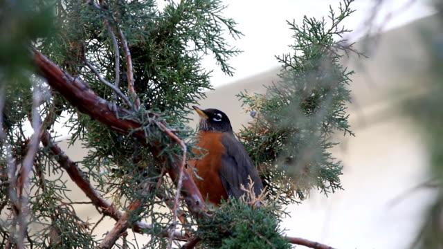 American Robin in nature video