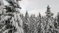 AERIAL Amongst the snowy spruce forest trees video