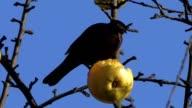 Amsel - Turdus merula - Eurasian blackbird or common blackbird video