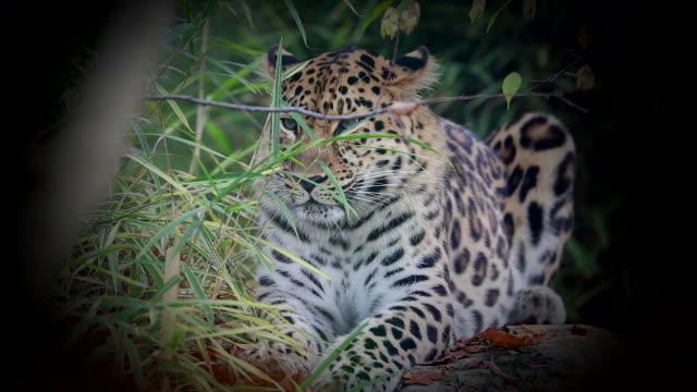 Amur Leopard video