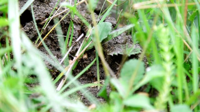 An anthill in the grass. A lot of ants are running around on the ground, saving their eggs, their offspring. The destroyed anthill video