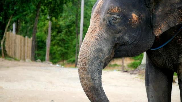 An elephant eats bananas closeup. PHANGAN, THAILAND video