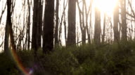 An evening shot of the setting sun through trees in a small wooded area video
