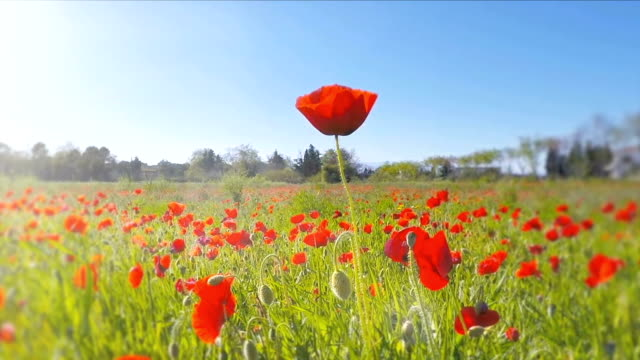 POV of an insect flying over a poppy field video