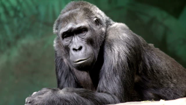 An old lying gorilla female is looking around. video