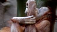 An orangutan female, eating remain of yoghurt from the bitten apart bottle. video