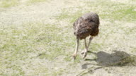 An ostrich picking foods on the ground video