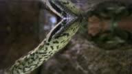 Anaconda snake underwater video