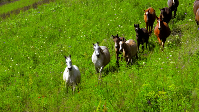 'Anamals' Running horses video
