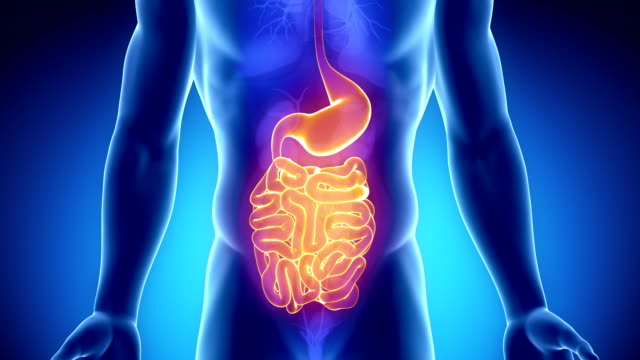 Anatomy of human digestive system gust and stomach video