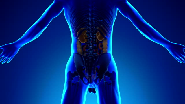 Anatomy of Human Kidneys - Medical X-Ray Scan video