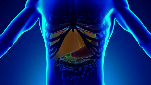 Anatomy of Human Liver - Medical X-Ray Scan video