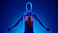Anatomy of Human Lungs - Medical X-Ray Scan video