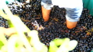 ancient method of wine production by pressure kicks grapes video