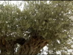 Ancient Olive Grove video