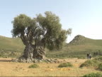ancient olive tree video