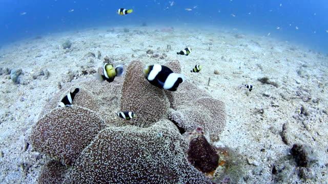 Anemon Fish Nemo video