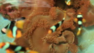 anemone fish and crown fish in farm video