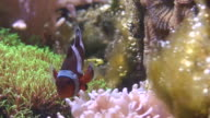Anemone (Pomacentridae Amphiprioninae) fish two video