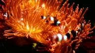 Anemone fish video